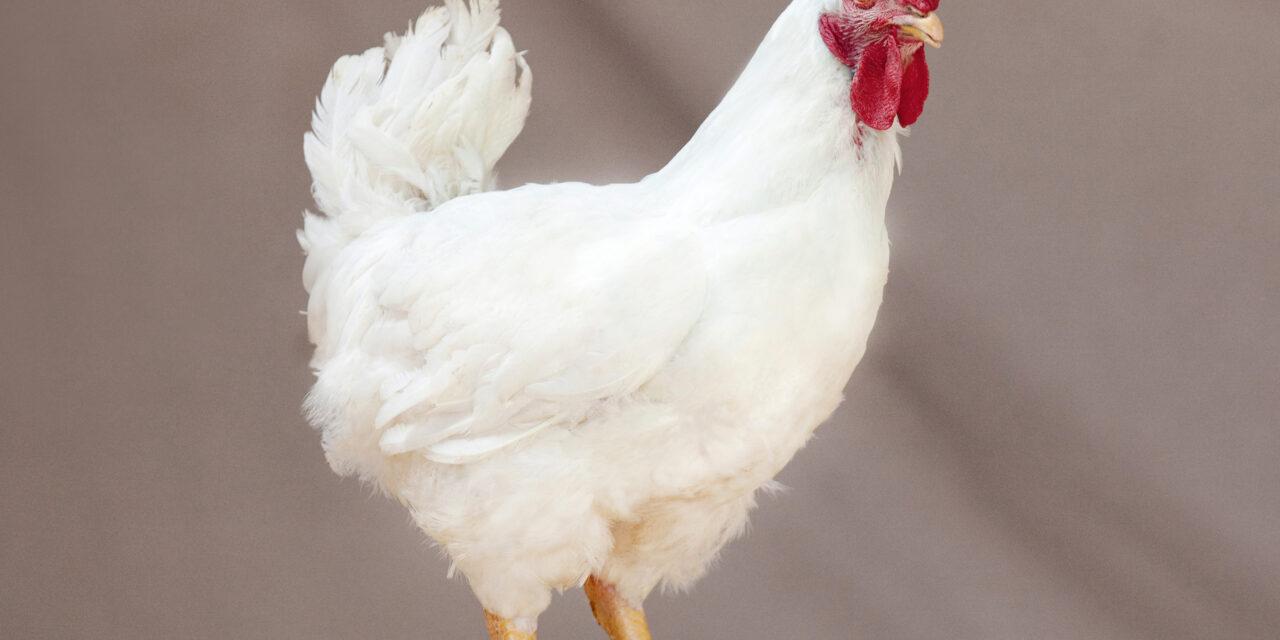 Highly pathogenic Avian flu confirmed at UK farm